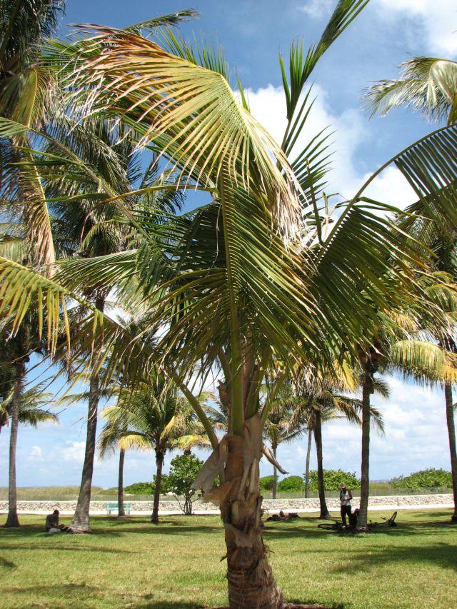 Arbres de Miami 1