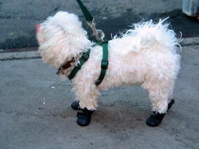 Chien avec des chaussures