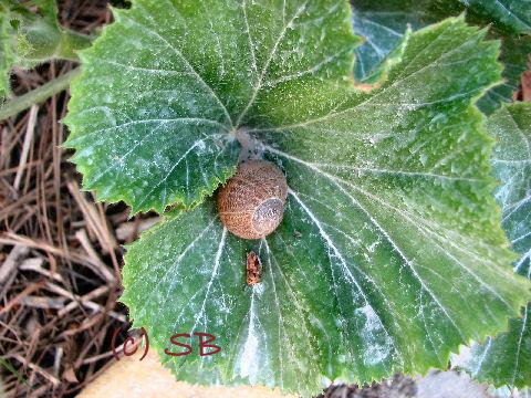 Escargot dans une feuille de géranium (c) SB