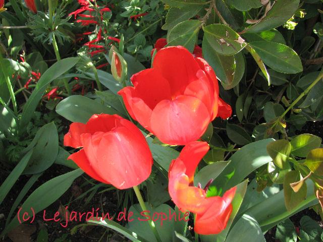 Tulipes (c) SB