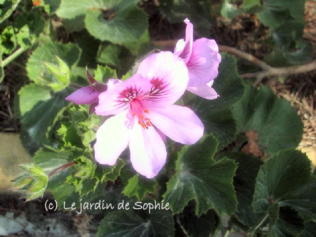 Geraniums (c) SB