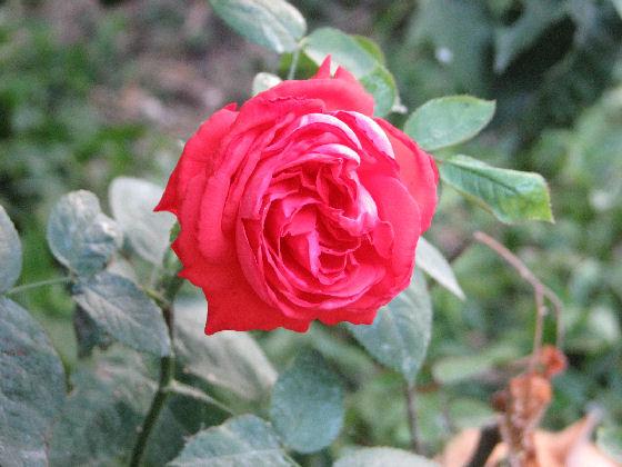 Rose (c) SB