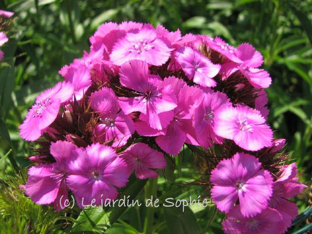 Le jardin de sophie oeillets du po te - Oeillet du poete ...