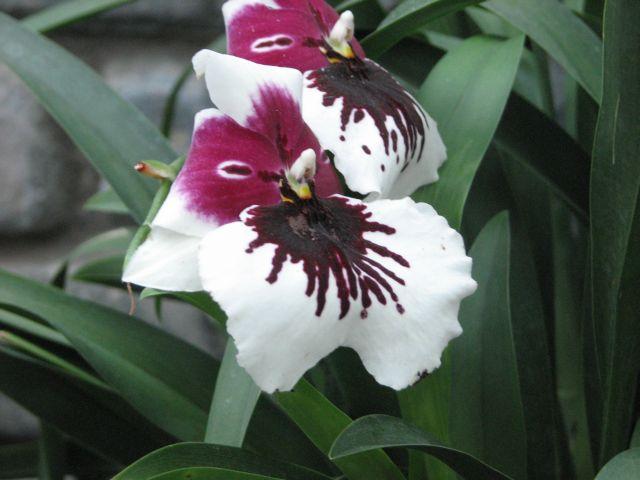 Orchidee (c) SB