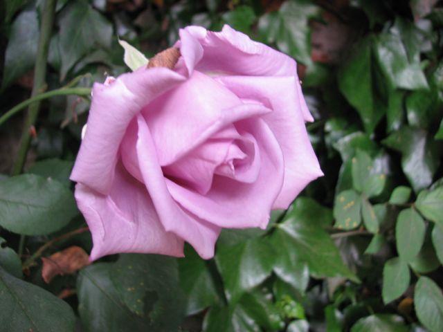 Rose mauve (c) SB