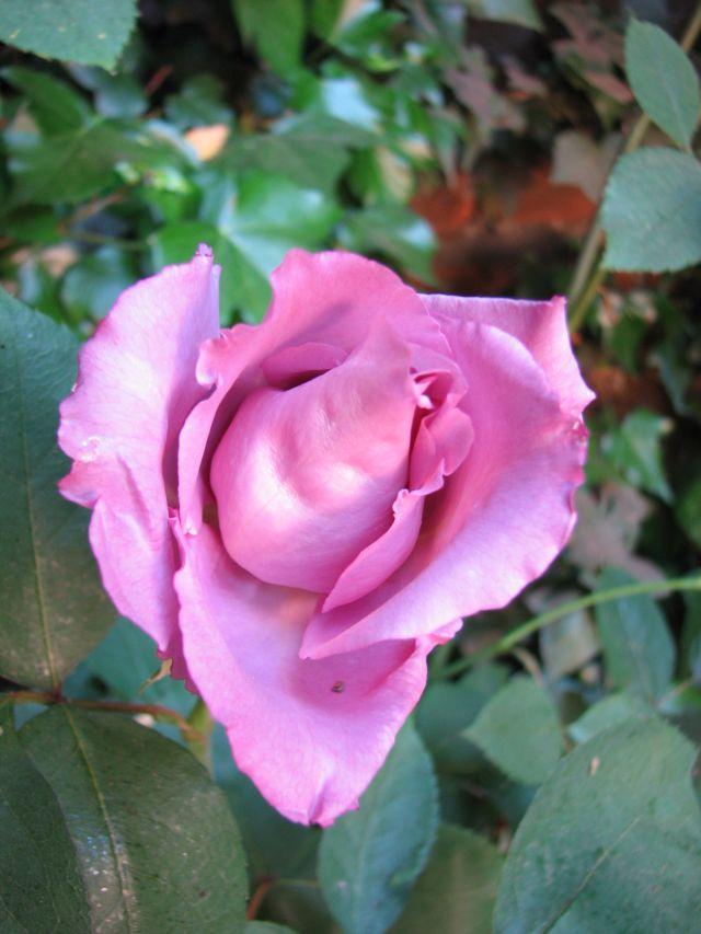 Rose(c) SB