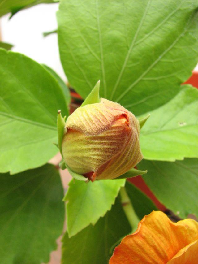 Hibiscus (c) SB