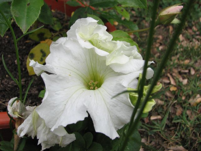 Petunia (c) SB