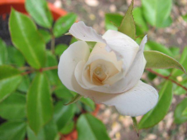 Roses (c) SB
