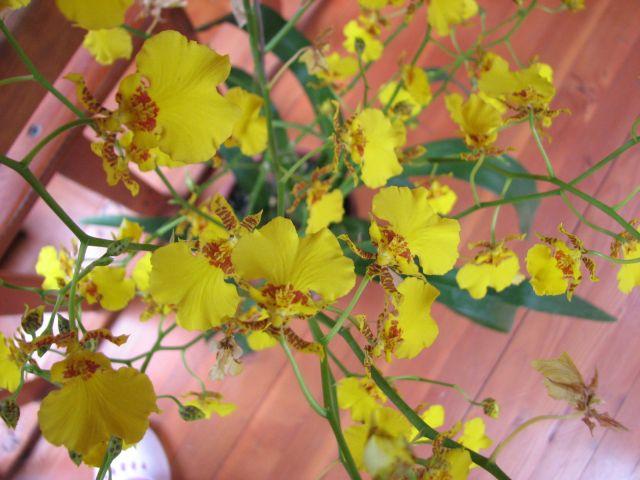 Orchidées (c) SB