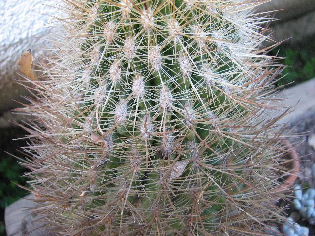Cleistocacto Cleistocactus strausii (c) SB