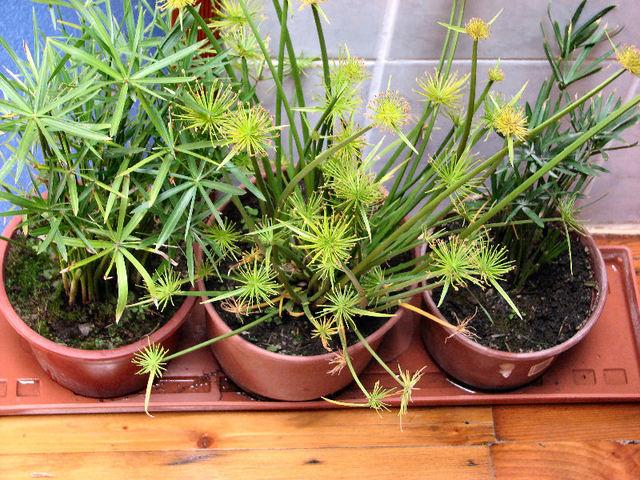 Papyrus nains (cyperus papyrus et papyrus souchet) (c) SB