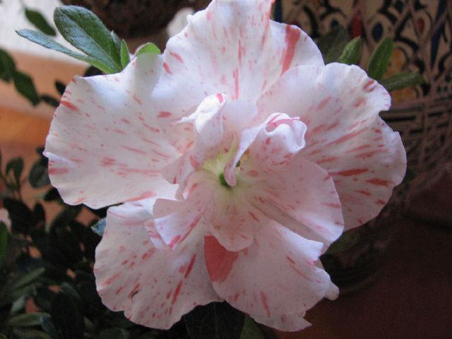 Rhododendron simsii (c) SB