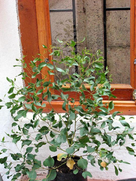 Corymbia citriodora (c) SB