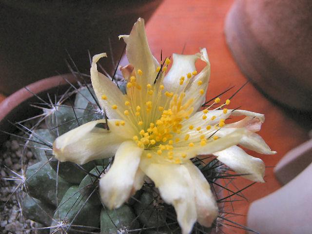 Fleur de cactus (c) SB