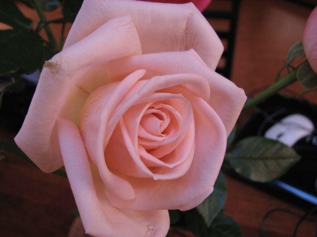 La vie en rose (c) SB