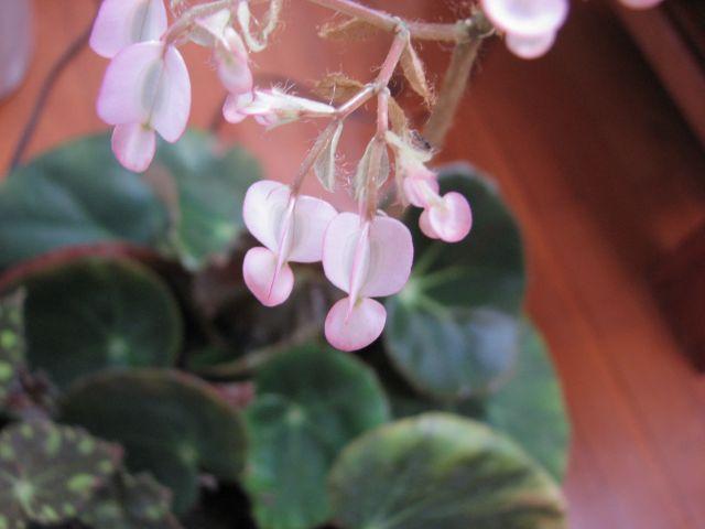Begonias (c) SB
