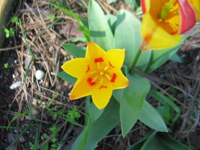 Tulipe (c) SB