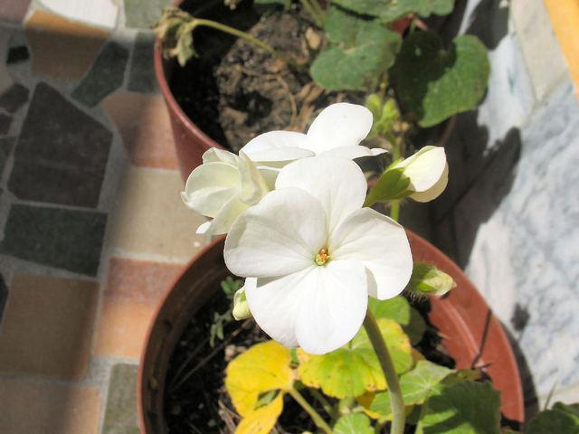 Pelargonium (c) SB