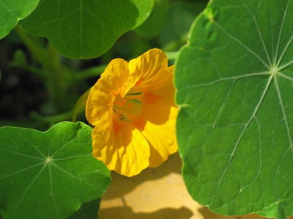Capucine_fleur_jaune_2_resize