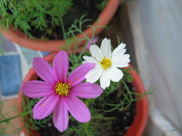Cosmos_fleurs_9_resize
