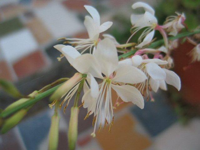 Gaura_fleurs