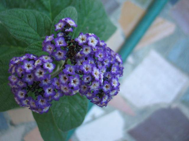 Hliotrope_fleurs_2