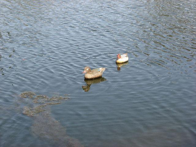 Faux canards sur vrai étang encore une idée des Brigands (c) SB