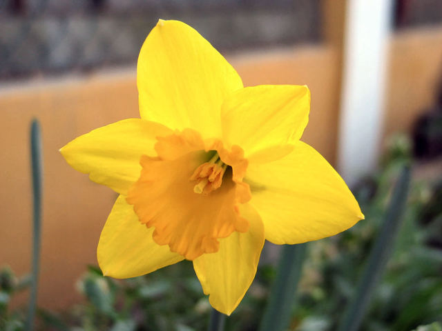 Narcisse_11