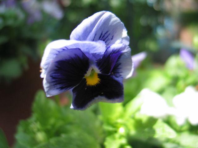 Penses_fleur_bleue_5