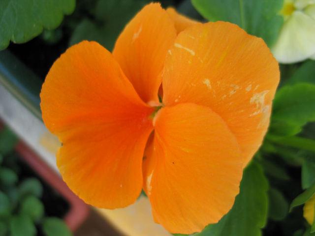 Penses_fleur_orange_6