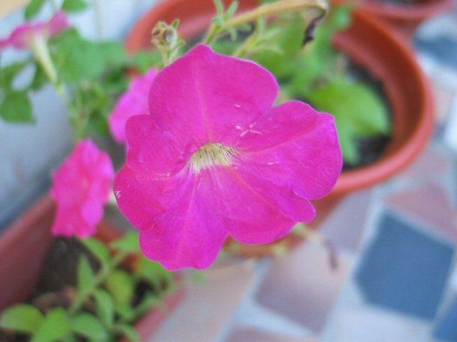 Ptunia_rose_13