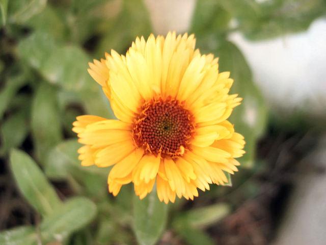 Soucis_fleurs_32