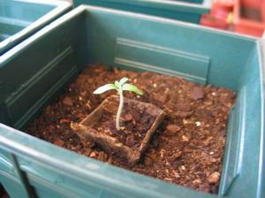 Tomates_1_mois