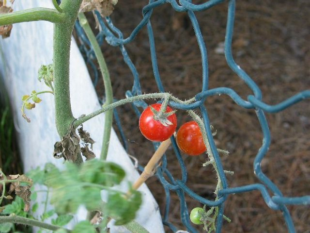 Tomates_rouges_2