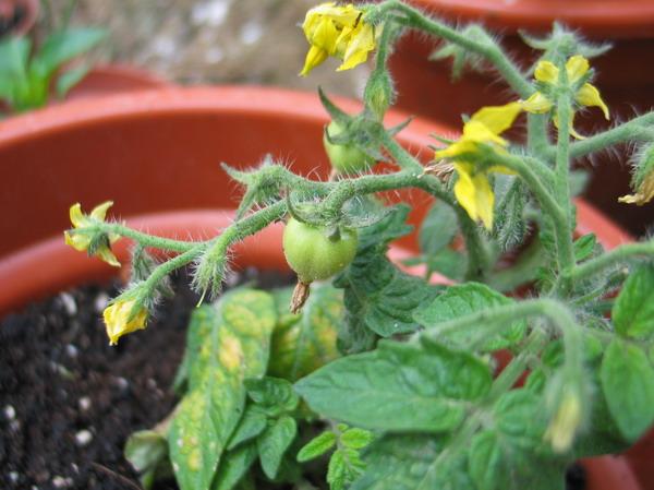 Tomates_vertes_3_resize
